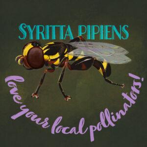 Syritta pipiens illustration